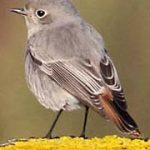 Black Redstart, DW 02a