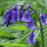 Bluebell, DW 08