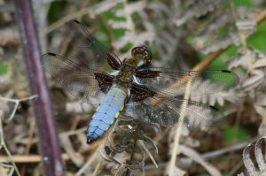 Broad-bodied Chaser Dragonfly  25 May 2015 by Alastair Gray