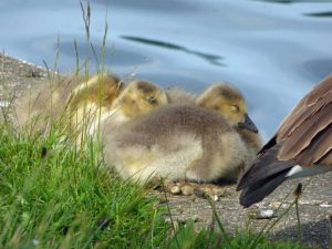 Canada Goose young Goslings