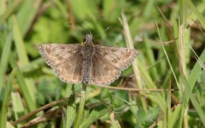 Dingy Skipper Butterfly  25 May 2015 by Alastair Gray