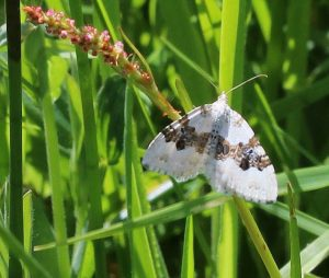 Silver Ground Carpet Moth  25 May 2015 by Alastair Gray