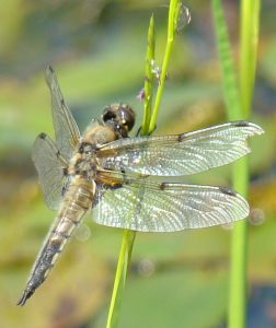 4 spotted Chaser male