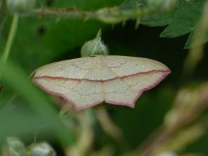 Blood-vein-Moth