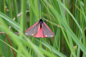 Cinnabar Moth 17-06-15 by Alastair Gray