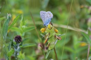 Common Blue Butterfly 17-06-15 by Alastair Gray