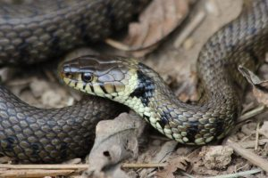 Grass Snake 17-06-15 by Alastair Gray