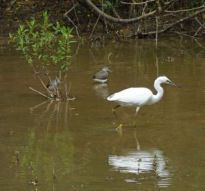 Little-Egret-with-Green-San