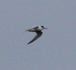 Little Tern by Alastair Gray
