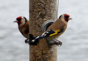 Goldfinches 20-12-15