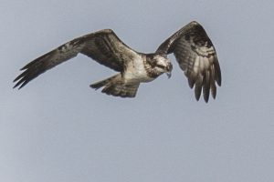 Osprey 2 27-03-16 photo by Andy Marshall
