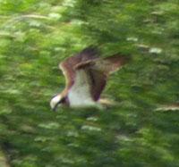 Osprey 26-07-16