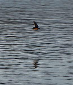 Barn Swallow 25-03-16