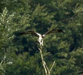 Osprey 27-07-16