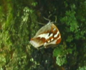 Purple Emperor Butterfly 27-07-16