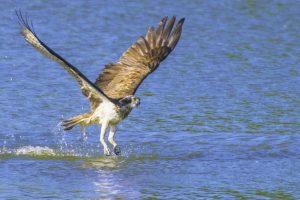 Osprey 23-08-16