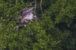 Osprey 21-08-16