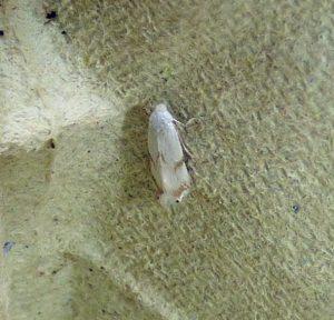 Pseudopostega-crepusculella 31-08-16